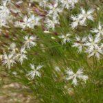 Гвоздика песчаная: размножение и выращивание из семян,фото.