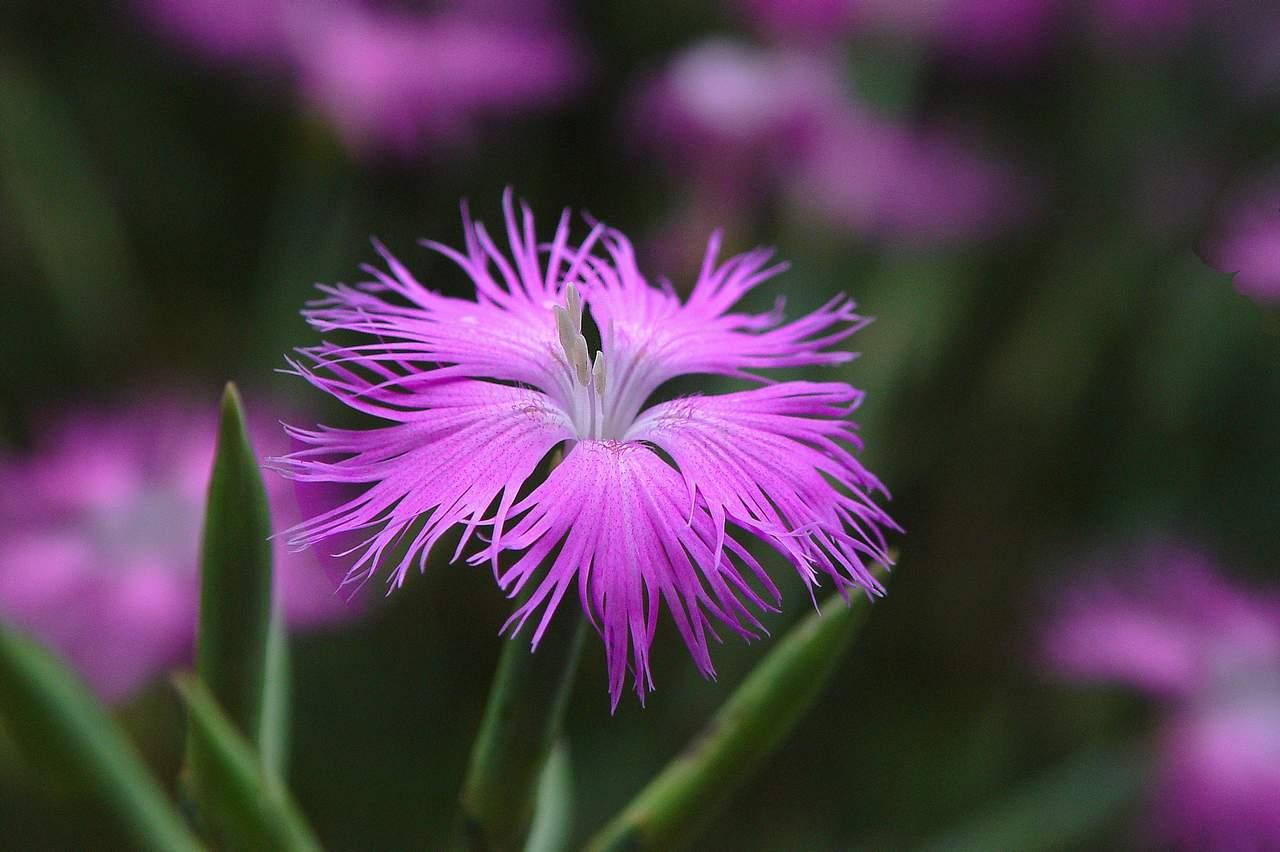 Гвоздика пышная: выращивание и уход в открытом грунте,фото.