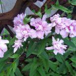 Калистегия махровая:выращивание и посадка в открытом грунте,фото,видео.