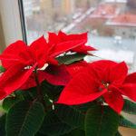 Пуансеттия красная:выращивание и уход в домашних условиях,фото,видео.