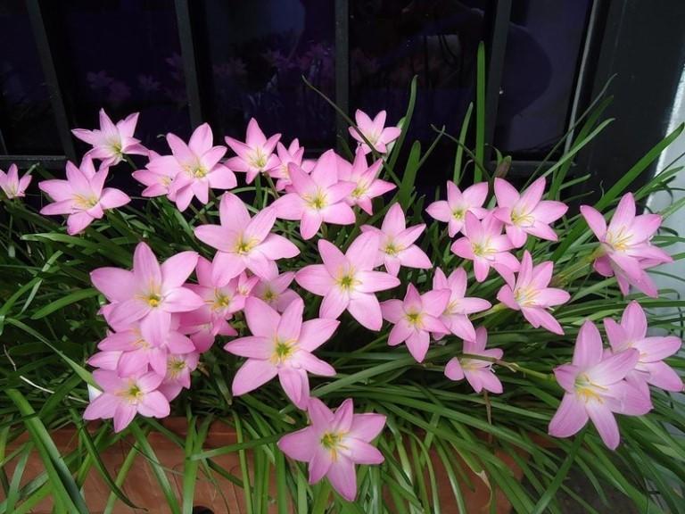 Зефирантес: уход и выращивание в домашних условиях,фото,видео.