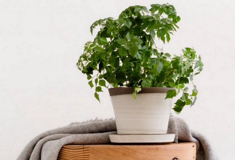 Радермахера: выращивание и уход в домашних условиях,фото,видео.
