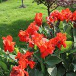 Канна: выращивание и уход в открытом грунте,фото,видео.