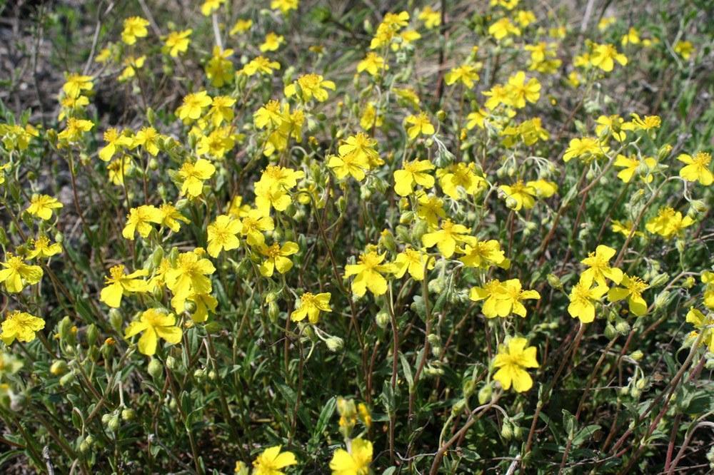 скромные солнцецвет цветы фото некоторых корпусах