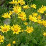 Дороникум:выращивание и уход в открытом грунте,фото,видео.
