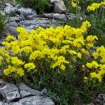 Солнцецвет: выращивание и уход в открытом грунте,фото,видео.