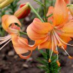Лилия садовая: выращивание и уход в открытом грунте,фото,видео.