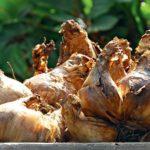 Луковый корневой клещ; профилактика.меры борьбы,фото