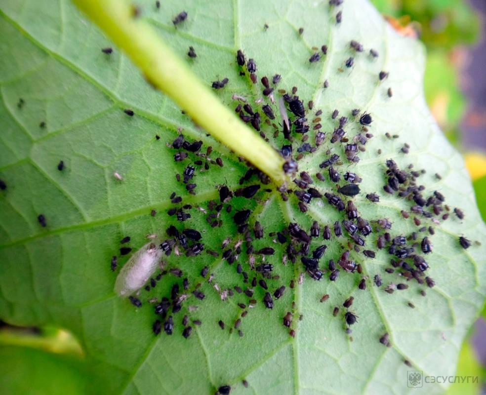 Тля на садовых растениях: борьба,симптомы,фото,виды