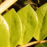 Почему комнатные растения желтеют:причины,борьба,фото,видео