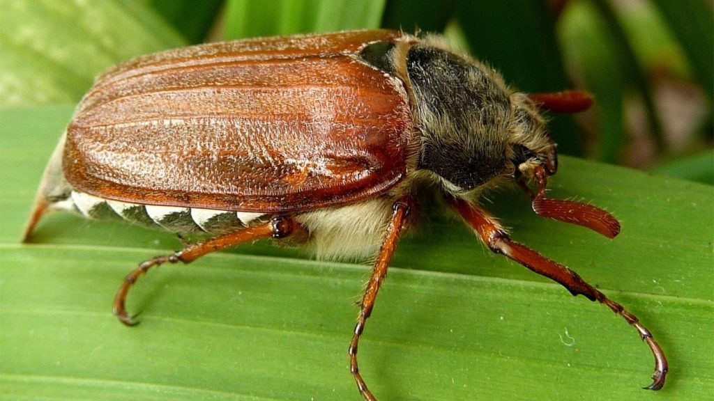Как бороться с майским жуком,вредителем садовых растений?