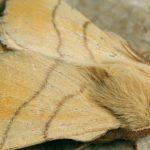 Кольчатый шелкопряд: меры борьбы,фото,описание