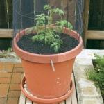 Как вырастить помидоры в контейнерах?