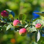 Правильная посадка яблонь