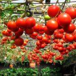 Как выращивать помидоры: описание,фото
