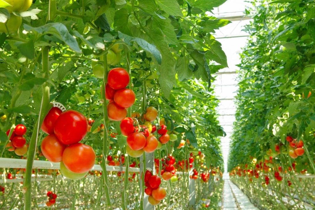 Секрет выращивания помидор прикольные картинки, новый год своими