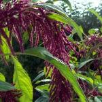 Амарант хвостатый: выращивание и уход в открытом грунте