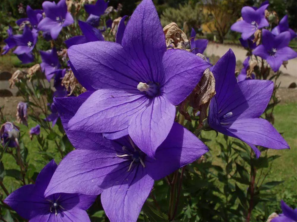 Платикодон фото цветов
