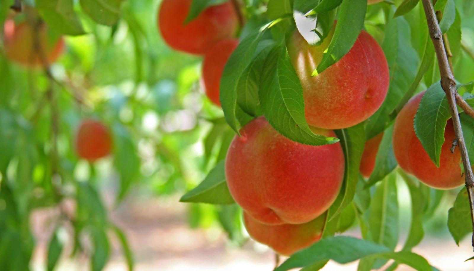 Персик:: выращивание и уход в открытом грунте,фото