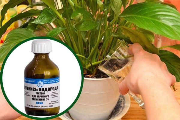 Как поливать комнатные цветы перекисью водорода