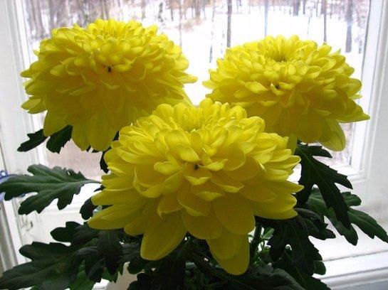 Домашний уход за хризантемами в домашних условиях.