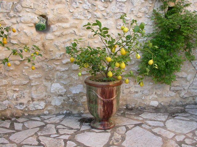 Как вырастить лимон из косточки в домашних условиях — фото, пересадка, обрезка
