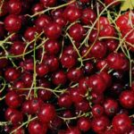 Красная смородина: посадка и уход за саженцами,нюансы высадки красной смородины в разное время года