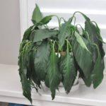 Почему вянут комнатные растения: описание,фото