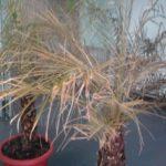 Почему у пальмы сохнут листья: описание,фото