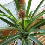 Как вырастить ананас в домашних условиях: описание,фото