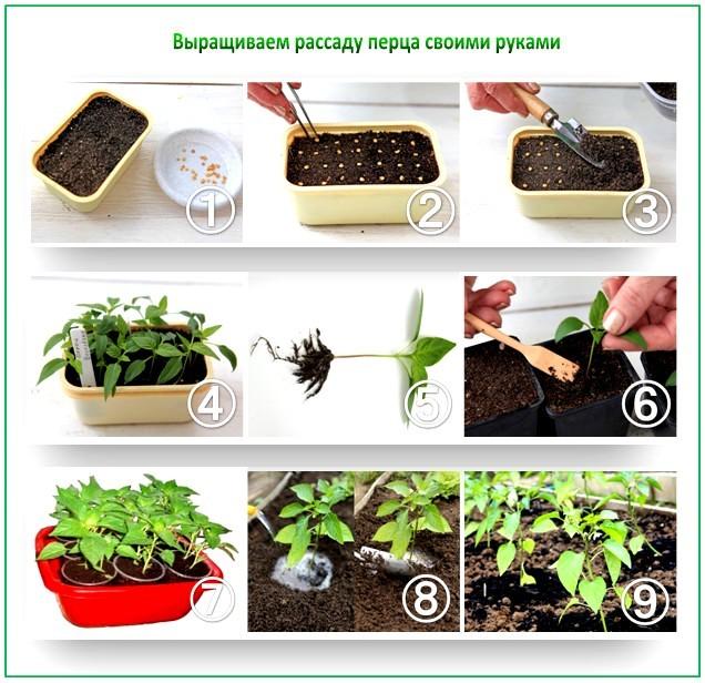 Уход за комнатным перцем и его выращивание