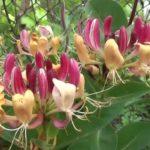Жимолость вьющаяся:посадка и выращивание в открытом грунте,фото