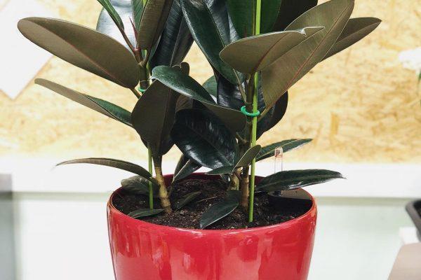Почему у юкки сохнут кончики листьев: причины и лечение,фото