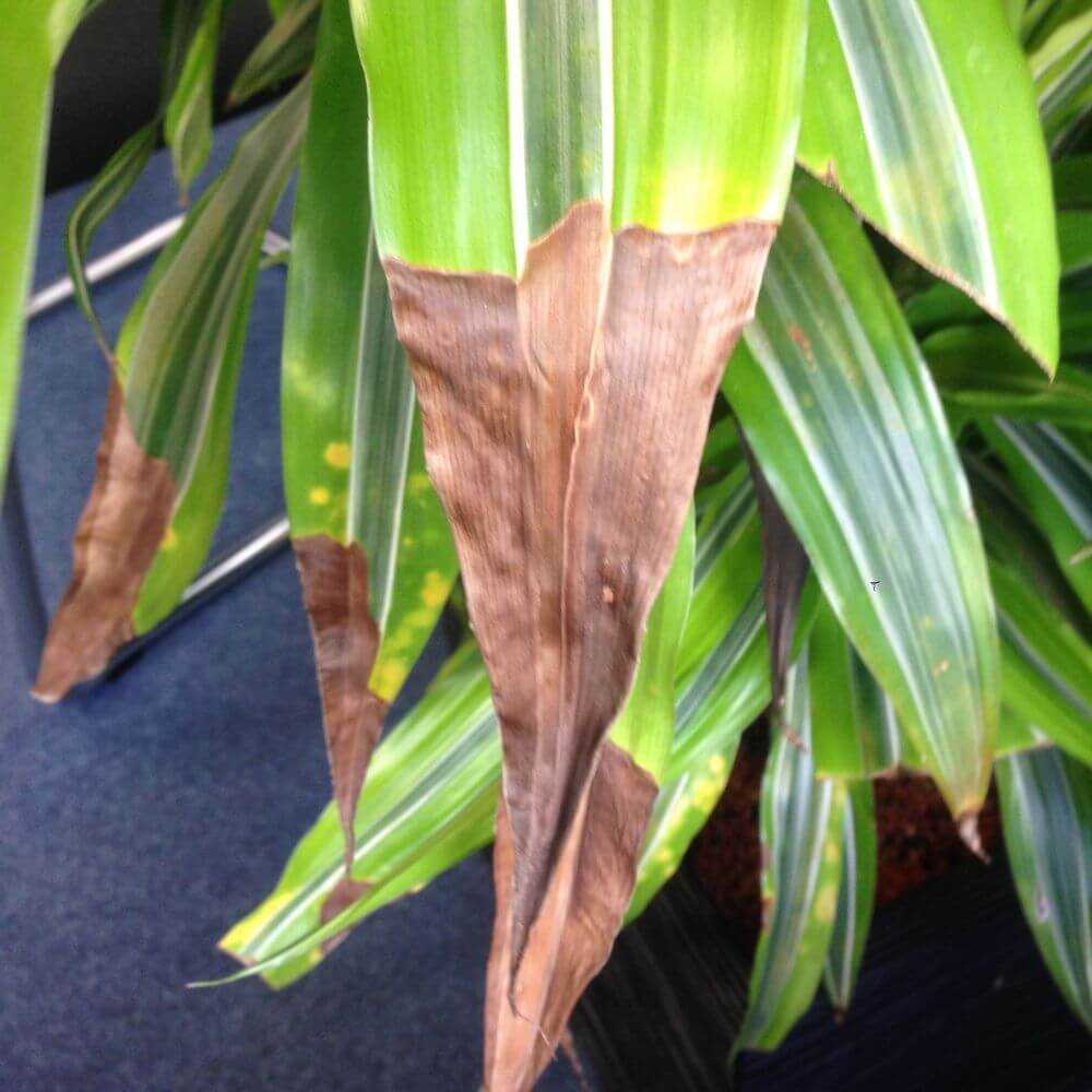 Почему у драцены сохнут кончики листьев: описание,фото