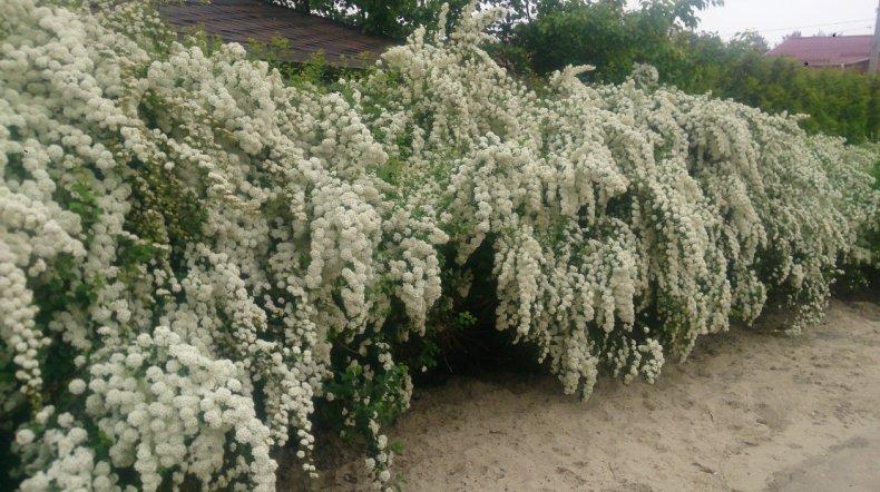 Спирея вангутта: выращивание и уход в открытом грунте,фото