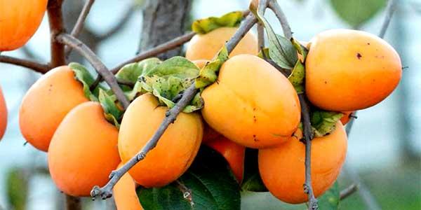 Хурма: описание ,где и как растет,выращивание дома,фото
