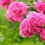Какие многолетние растения цветут на Урале