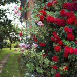 Как правильно поливать розы в открытом грунте?