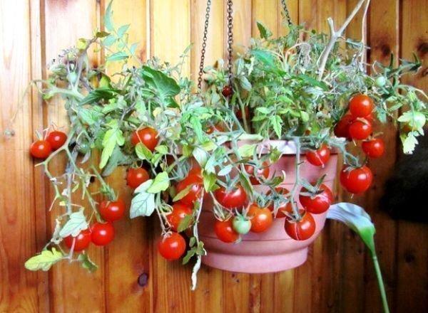 Помидоры черри: лучшие сорта и особенности выращивания