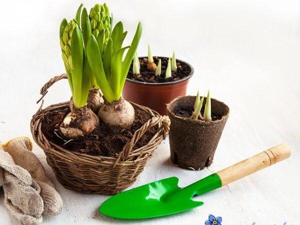 Как правильно пересаживать цветы в горшочки?