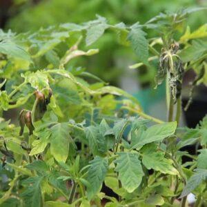 Что делать, если замерзли саженцы томатов — инструкции по спасению шаг за шагом после заморозков