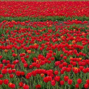 Мир тюльпанов в Крыму