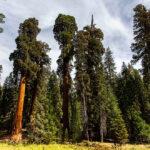 Самые большие деревья в Национальном парке Секвойя в Калифорнии