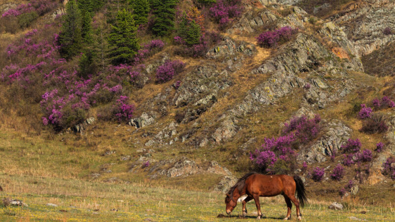 Цветущий маральник в горах на Алтае