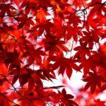 Арасияма и сезон красных Кленов