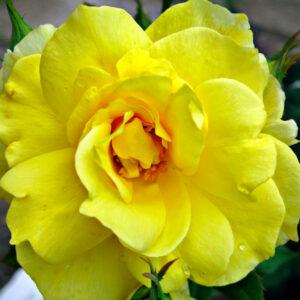 Что нужно делать чтобы розы в вазе стояли как можно дольше?