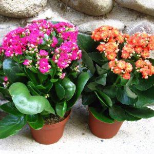 Когда можно пересаживать цветы. Можно ли зимой?